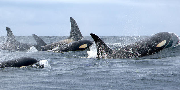 The survival of each Southern Resident orca is vital for this critically endangered population's future   Credit: NMML/AFSC/NOAA