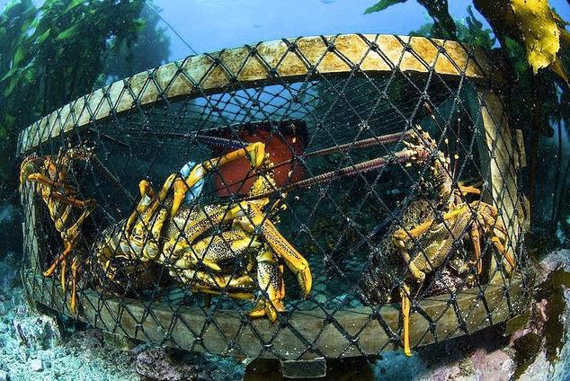 Lobsters experience severe damage to their sensory organs and immune system suppression following exposure to seismic noise   Credit: Brian Skerry/'National Geographic'/Getty Images
