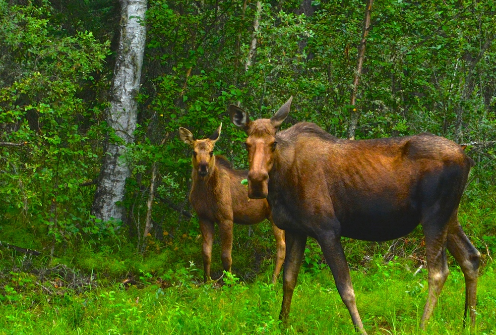 Momma and baby Moose