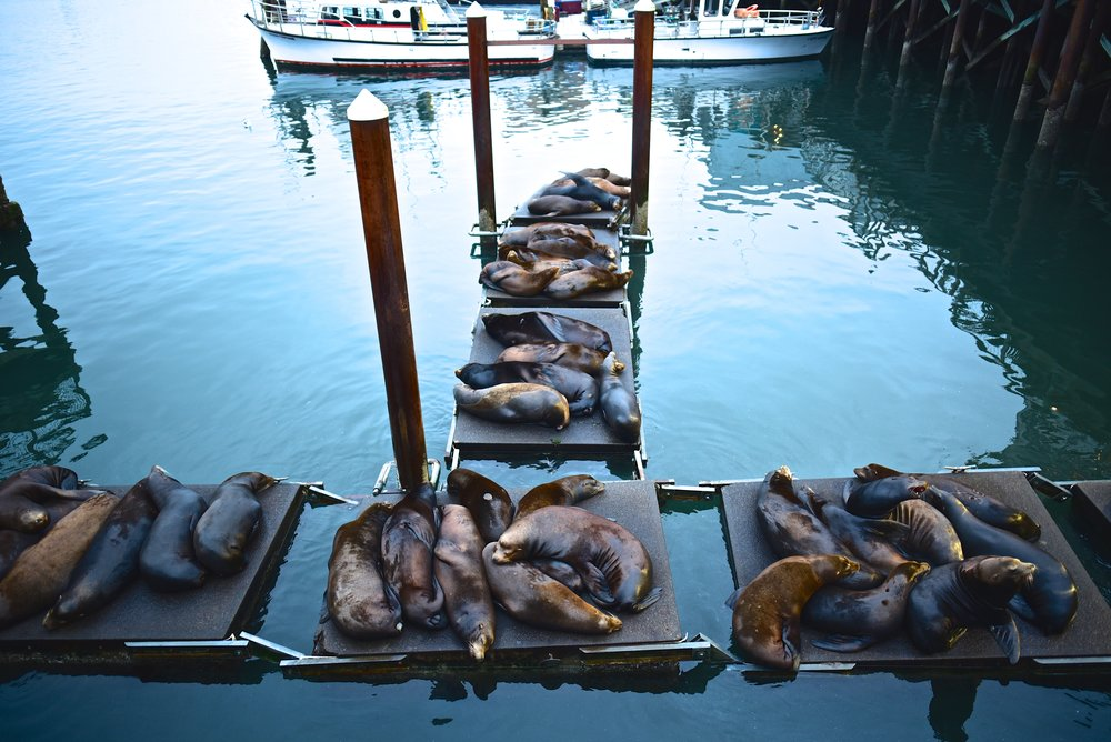 Sea Lions cuddling on the docks in Newport, OR