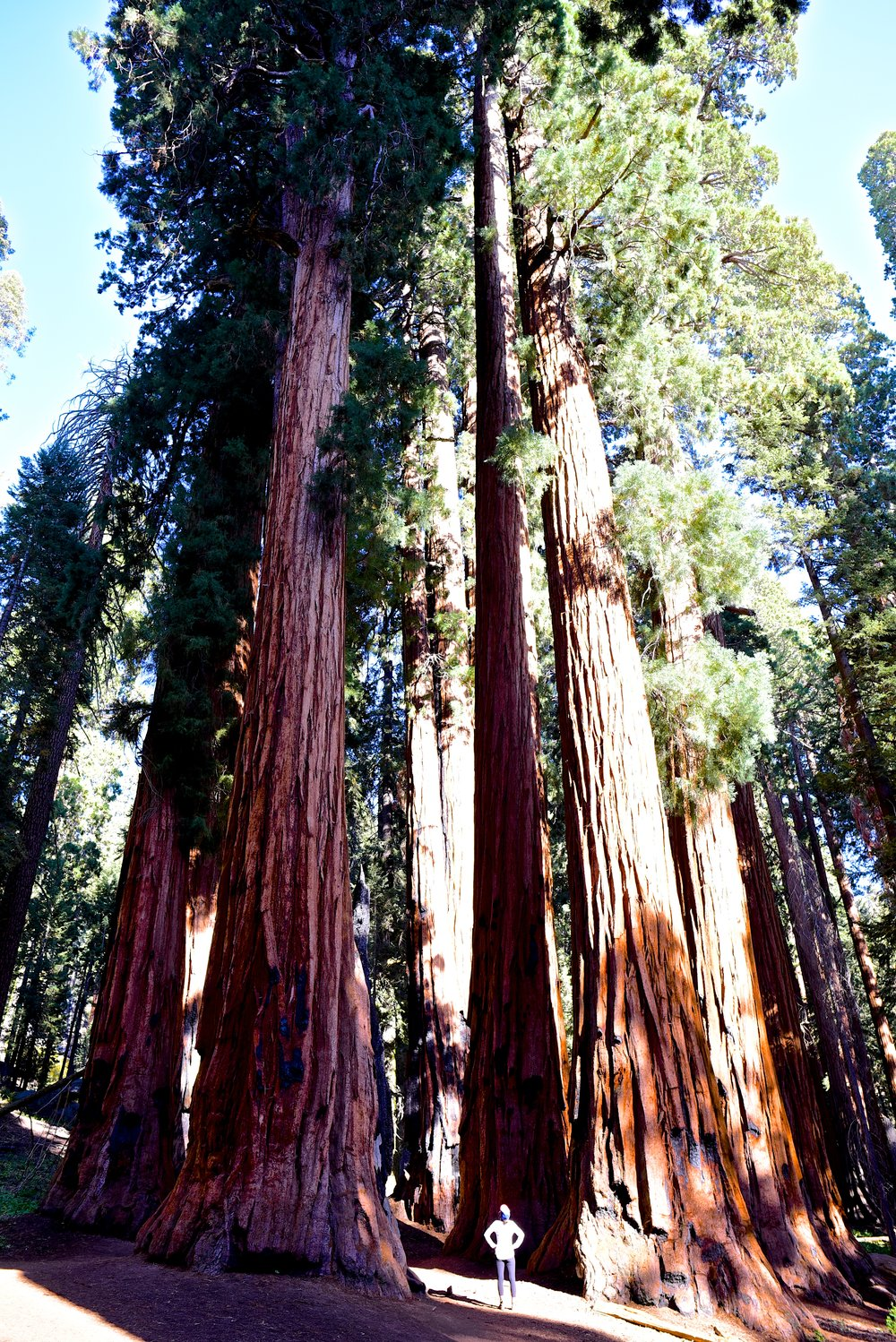 Walking among the Giant Forest in Sequoia National Park