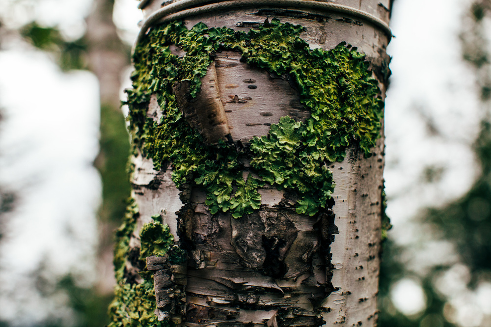 Paper Birch is a moderately heavy, white wood. It makes excellent high-yielding firewood if seasoned properly. The wood is used in furniture, flooring and popsicle sticks.