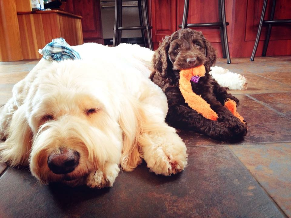 We love our Goldendoodle's. Pictured above is Buddy and Rocky.