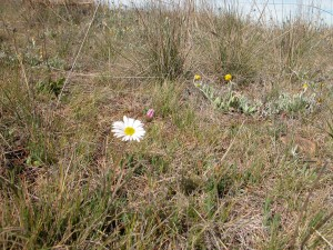 Hill daisy in my ironstone grassland ecosystem