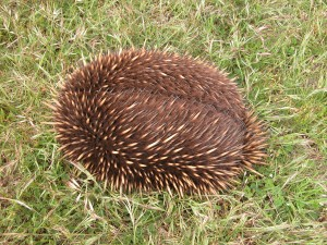 Echidna stopped in its tracks
