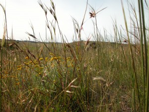 Kangaroo grass with everlasting in the background