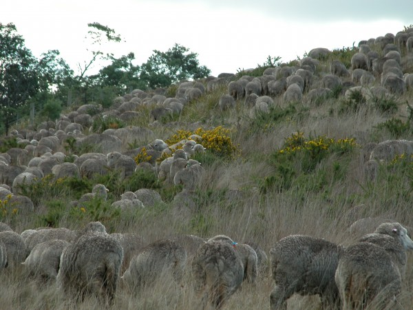 Close-up on the grazing circuit. Everyone is moving steadily up the hill, grazing as they go. The yellow gorse blossoms are a particular favourite.