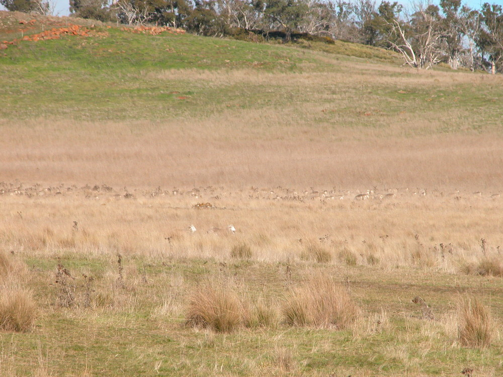 The sheep in the long grass as the dogs and I were having our morning tea.