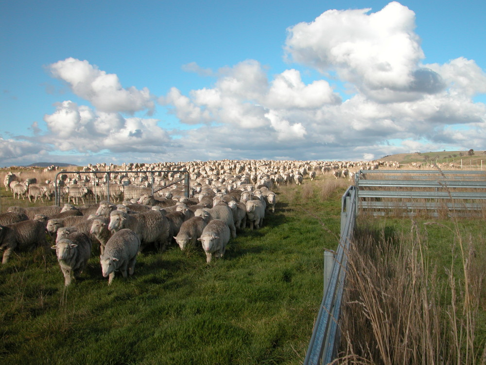 Coming through the gate onto fresh feed. Clara is standing next to me (not in the photo) at the corner of the yards. She didn't stay long–the call of the fresh paddock and the rest of the flock was too strong.