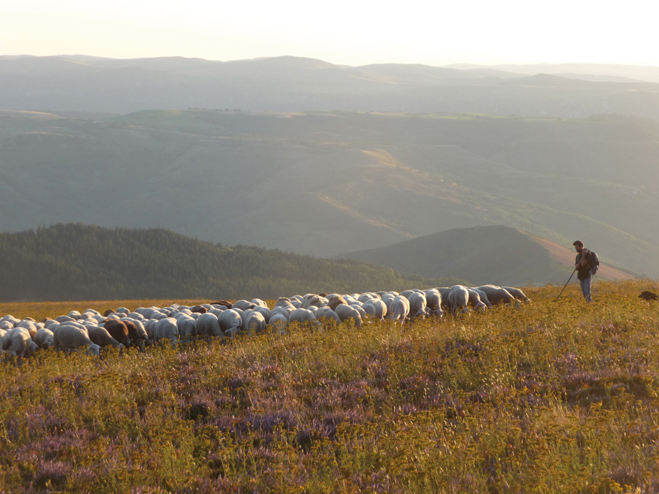Guillaume Constant herding in the Cevennes National Park