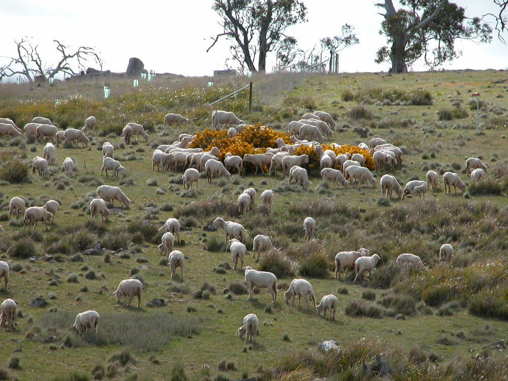 Chowing down on gorse blossoms–one of the many learned eating behaviours passed down from the canny old ewes to the youngsters.
