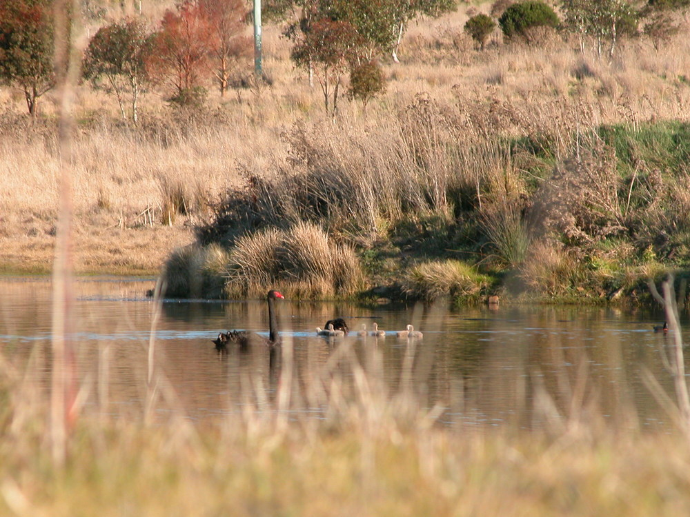 Swan family in the revegetation area where they clutched. Trees in the background were all planted in 2008.