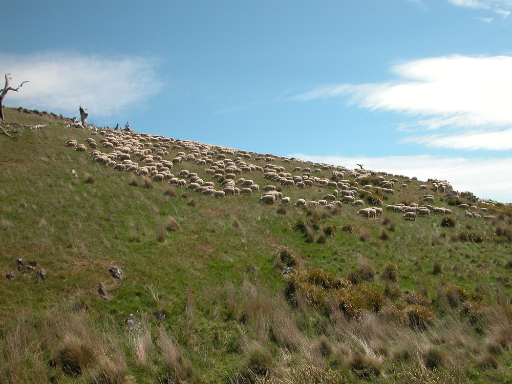 The flock showing an uphill forward biais shortly after coming into this paddock.