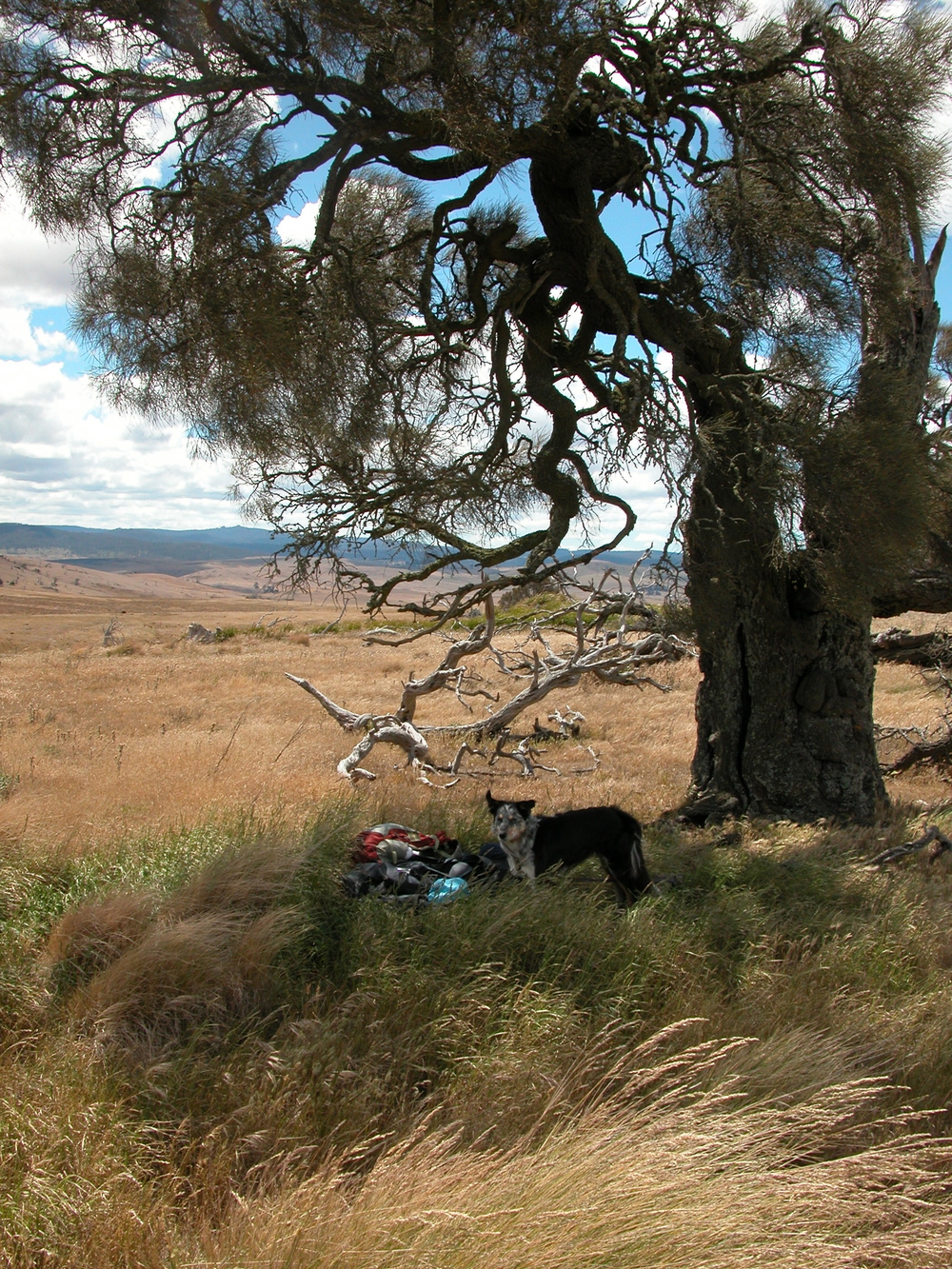 Mid-day rest spot for Pearl and me, under a wonderfully gnarled, windswept she-oak (casuarina). It was shady, and we could watch the sheep at their mid-day rest, but very windy at the top of the hill, as you can see from Pearl's flying ears!