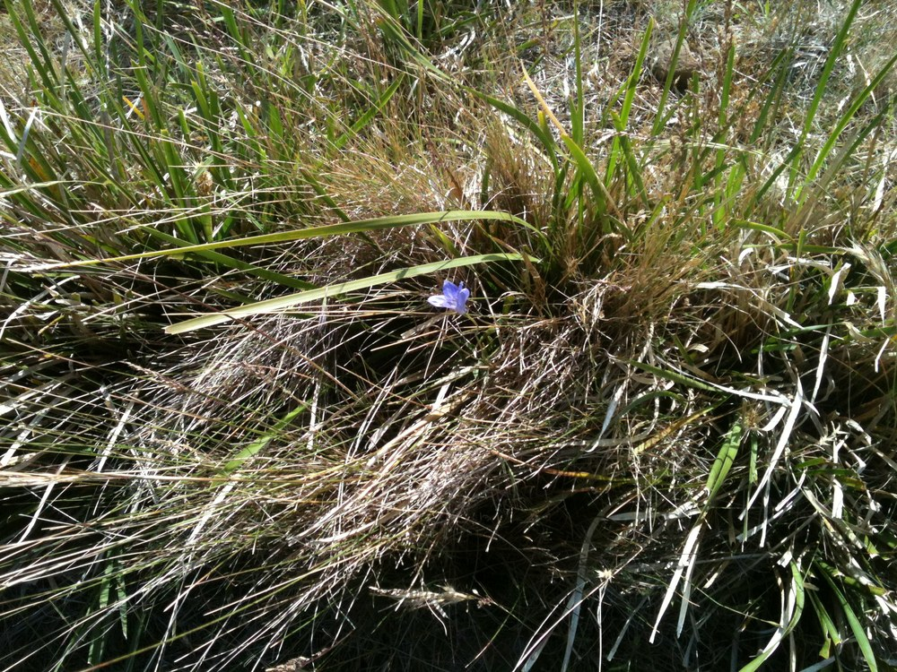 Wildflowers have been fairly scarce this dry spring, but I found this native bluebell just yesterday while shepherding.