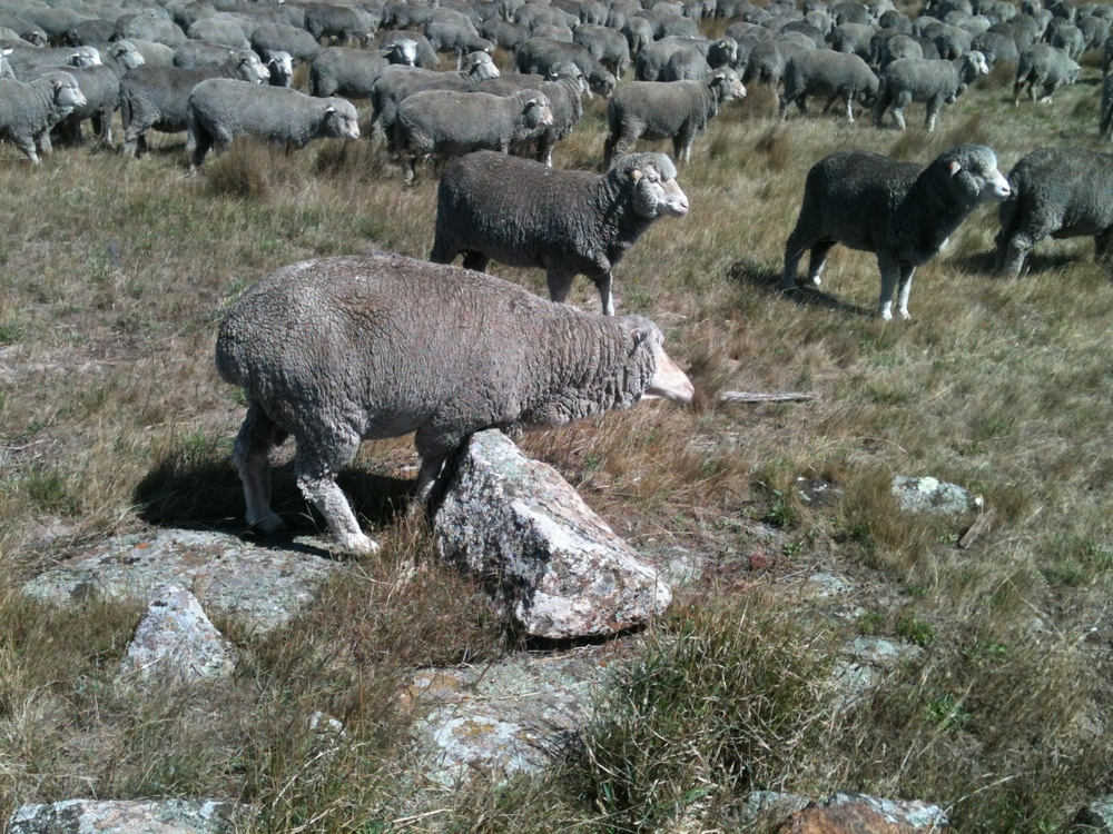 Same ewe, different rock. She's the only one I've seen do this.