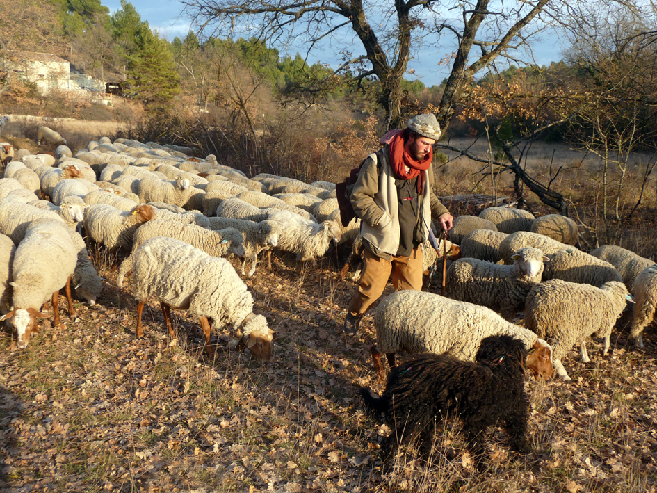 Anthony Navon leading his flock with his dog Zumai in Vaucluse, Provence. Photo copyright M. Meuret. Used with permission.