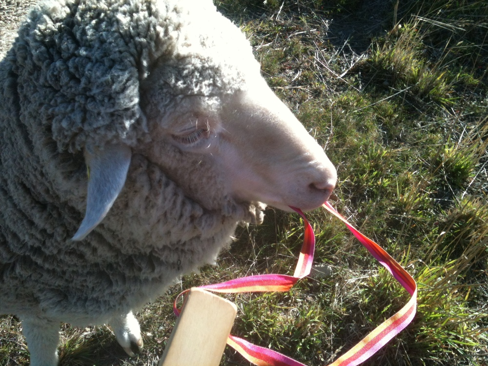 "My pet Vicky has always loved to chew on my pack straps and my clothing. Here she's having a go at the strap of my ""bugle"": a wooden horn that sounds like a distant freight train. I'm training the sheep to come to the sound of it when there is fresh forage at the other side of the gate where I'm standing."