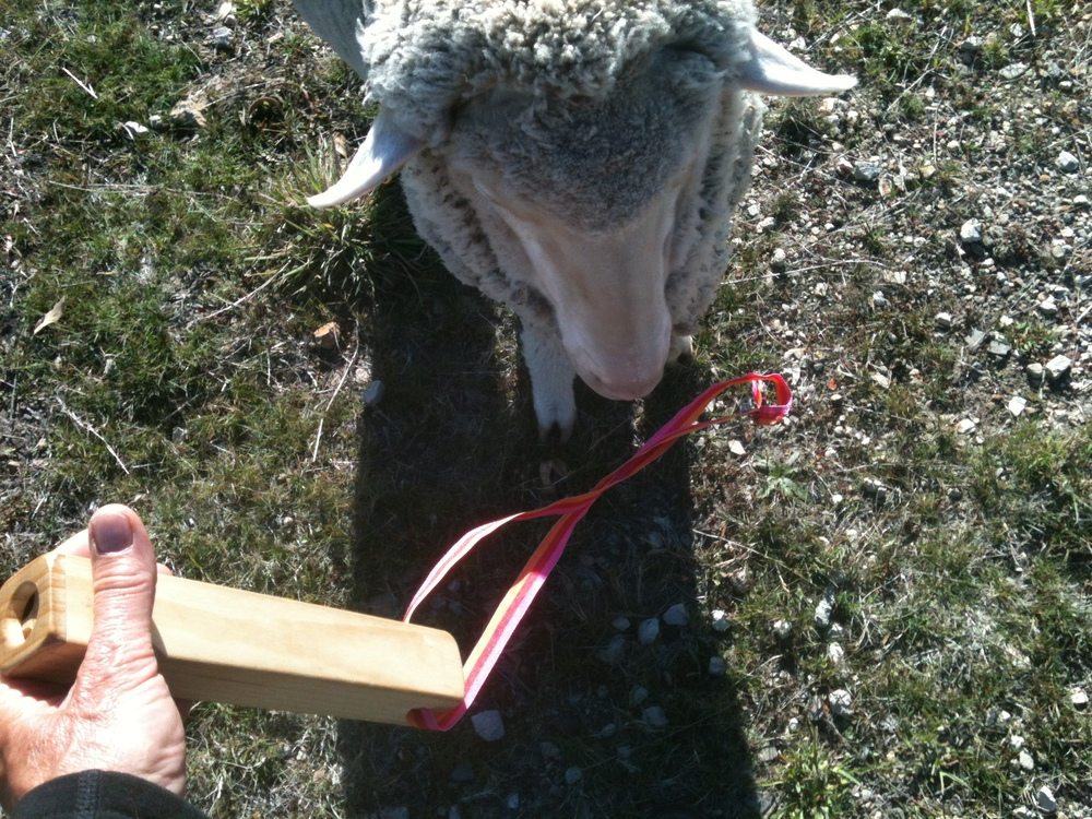 "My sheep ""bugle"", a wooden ""train whistle"" instrument. I lost the first bugle just a couple of days after I bought it–dropped it on the hillside, never to be seen again. Hence the bright-coloured ribbon intriguing Vicky, who chews on any strap that is attached to me.   Michel Meuret   suggested using a bugle to call the sheep, and though it has taken several months to convey the meaning of the call, it is now proving to be most useful."