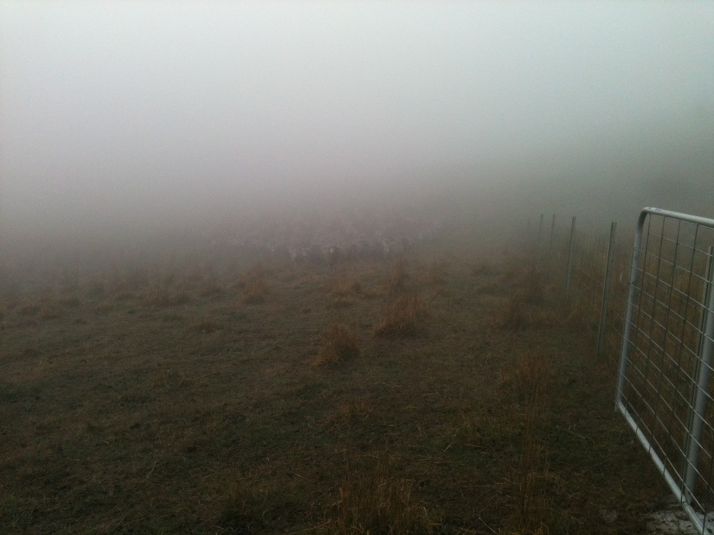 The flock coming to the bugle call through the fog, from about 300 m away. The dogs are in the Polaris–they didn't play any role in getting the sheep to come to me at the gate.
