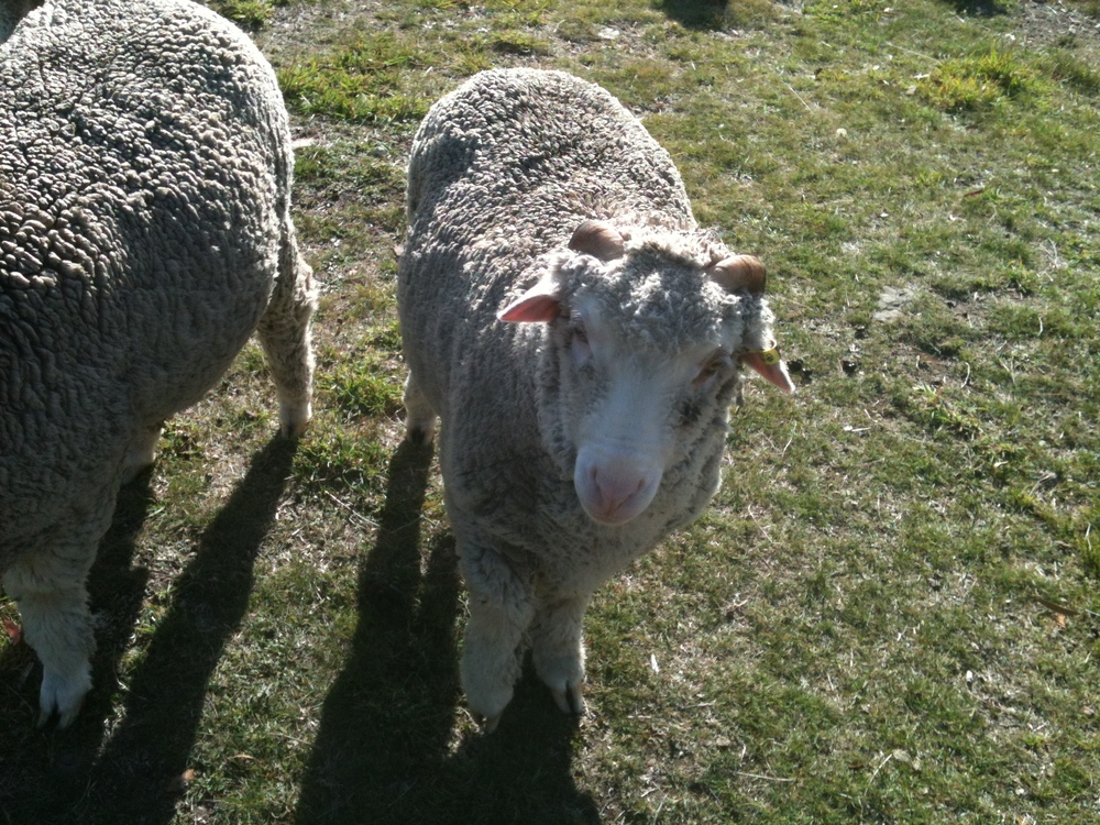 "This is Elf when he was about a year old. He had severe, crippling infantile arthritis as a lamb. With a fair bit of nursing and physical therapy he has ""come right"" and you wouldn't know he was crippled. Though he never was willing to take a bottle from me, he is now, at 2 years old,  one of my most faithful friends in the flock. He often comes running up to me, and asks for a pet and a chat, putting his nose right up to mine.  Needless to say, I adore him."