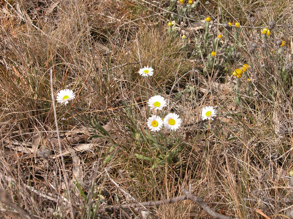 Hill daisies (brachyscome aculeata). I don't have lots of these, so they always seem quite special to me when I come across them.