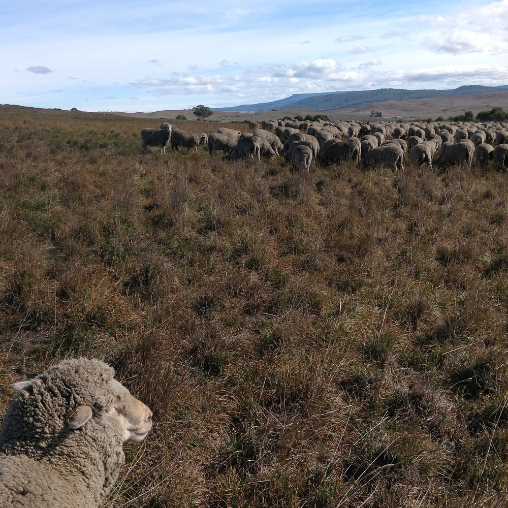 Clara in the foreground, with the flock grazing northward.