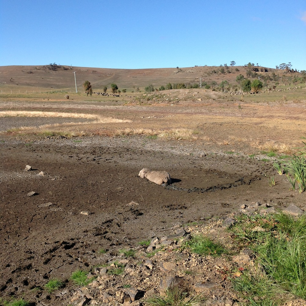 "P5: Oops. Change of plan. I should have seen this coming! This is a purely run-off-filled hole, and with no run-off for months has been gradually drying up. Just not dry enough, darn it. Ironic to have muddy sheep when we're in ""lowest on record"" rainfall conditions..."