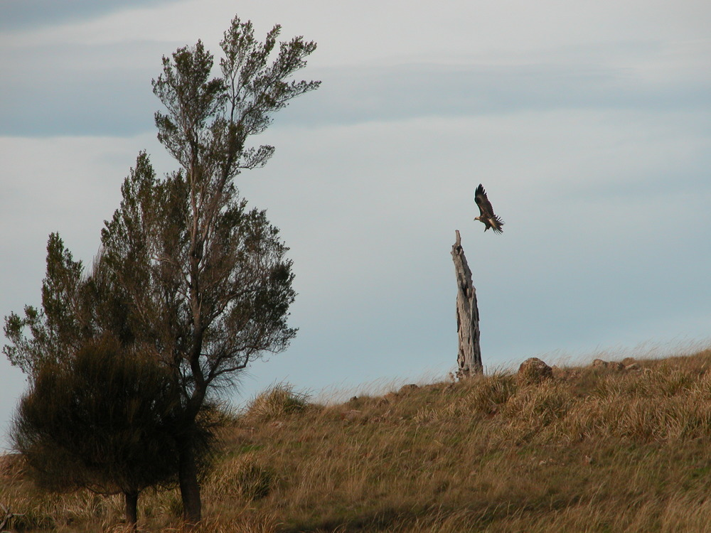 P6: And while we were waiting for the sheep to finish their mid-day rest, this gorgeous wedge-tailed eagle flew over to land on his totem pole.