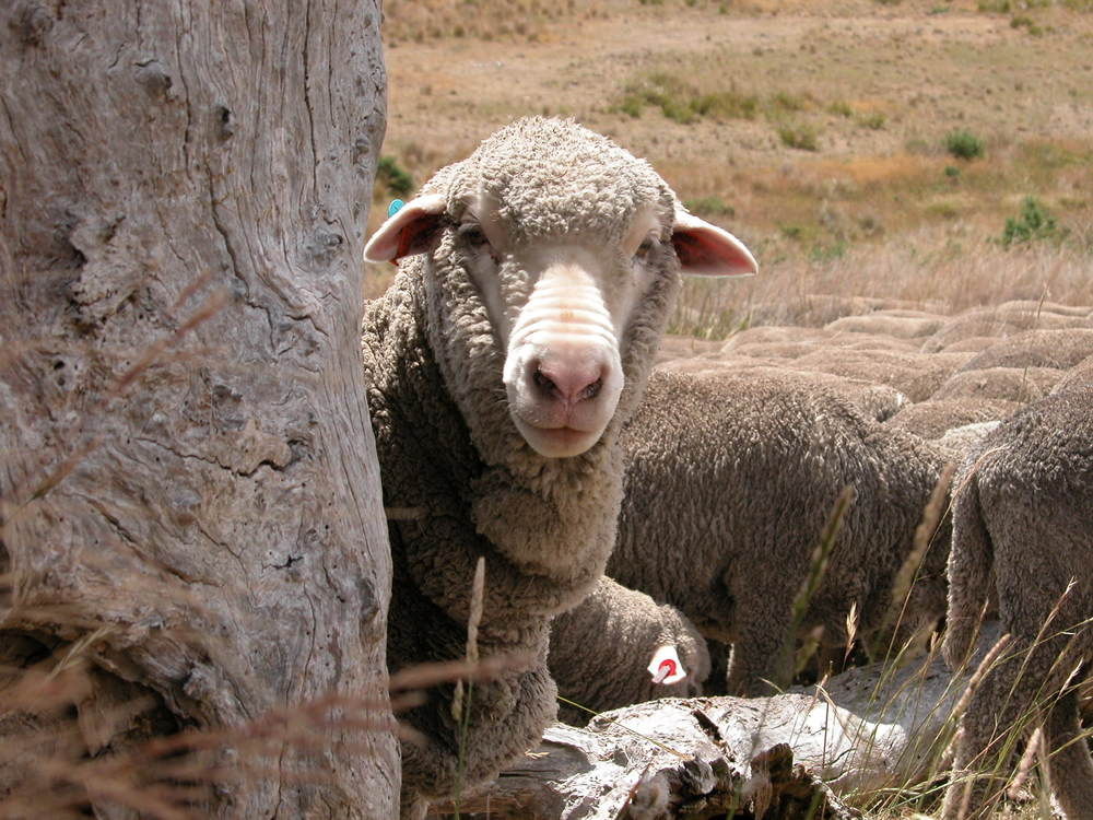 A photo taken in January 2015 in the Back Gully Reserve. I was still quite a novice shepherd, and this was a pivotal moment for me, when a ewe stood and regarded me with interest instead of immediately moving away (I was sitting just a few feet from her).