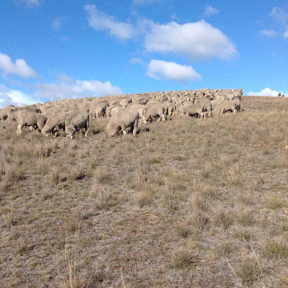 P4: Grazing down the whiling the gully. Dogs are on the top, right.