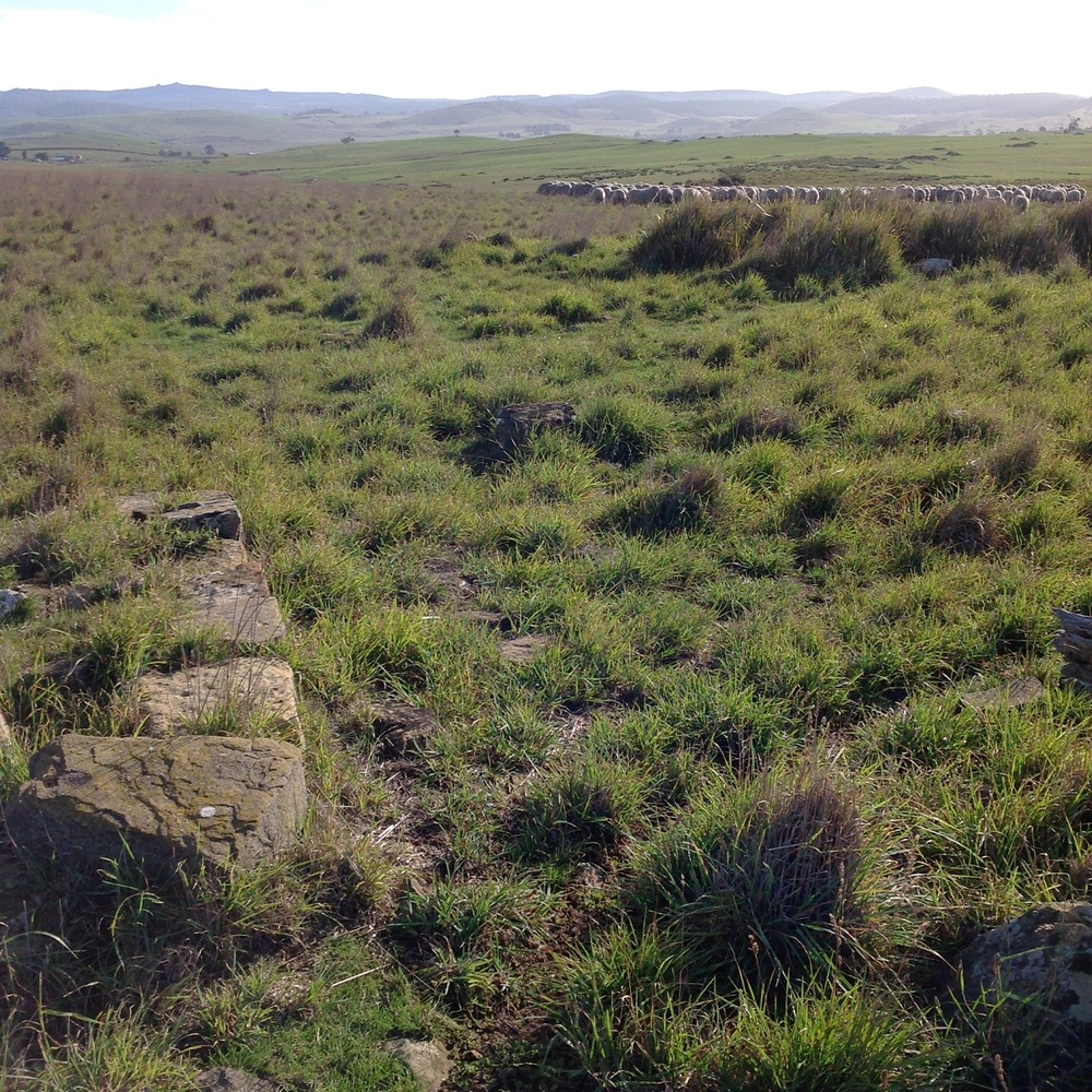 P3: Worked sandstone foundation of what I call the Old Cabin. Sheep had a good, slow graze up to this corner. Now moving NW in the general direction of the lucerne.