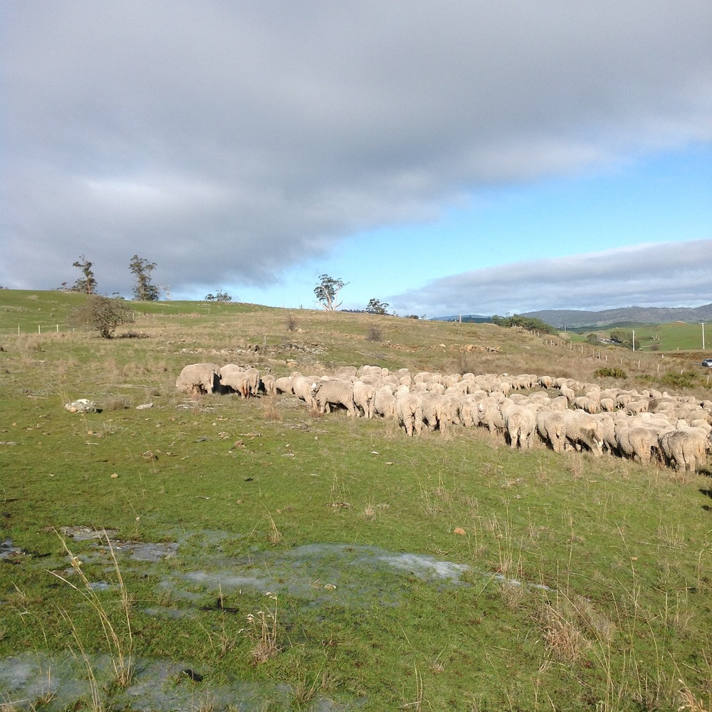 Ice in the foreground, with the sheep grazing away from me into the bitterly cold wind. The video below was taken about an hour later. (25th June)