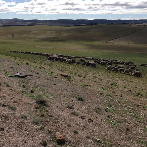 "P5: Grazing ""with intent"" before mid-day rest. They are nearly ""over"" lucerne and are heading for the native grass above the old fence line. This is all in the area that burned in January."