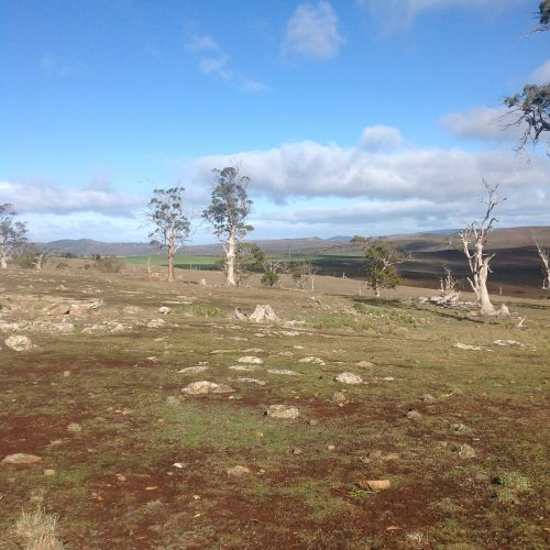 P1: White Gums: remnant of pre-European settlement (200 years) vintage, now slowly dying of old age. Many of the new trees I've planted are meant to be replacements. No sheep in sight. I think they beat me to the SW end of the Grazing Area.