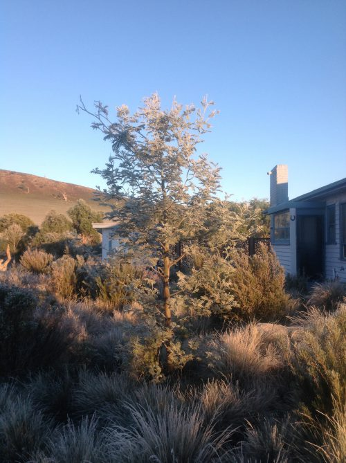 And here's what that baby wattle will look like in 5 years! Frosty in the morning. sun.