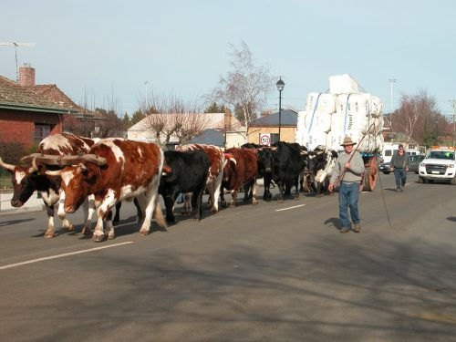Brian Fish and his team of 12 bullocks pulling the loaded wagon down High Street