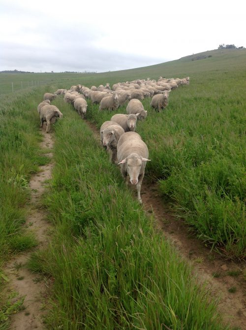 Difficult Girl leading the mothers-to-be in the lucerne: she is NEVER up front in the main flock–always at the back fighting the dogs. Part of the leadership chaos in this small flock with too many would-be leaders?
