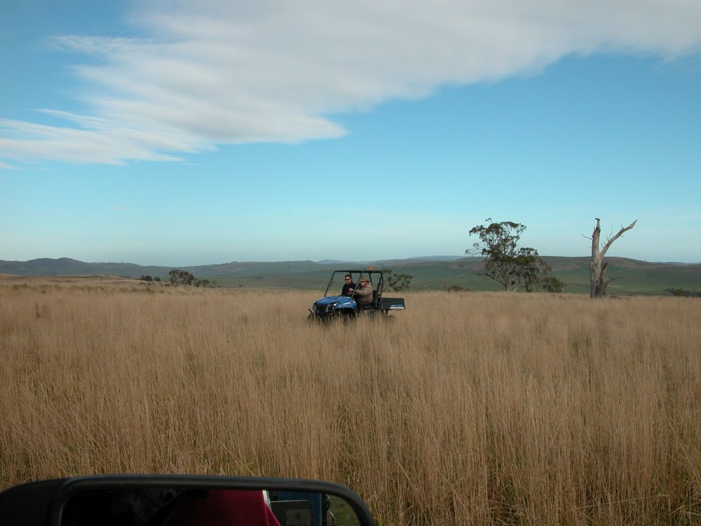 The first test drive of the Polaris Ranger, with stockman Davey at the wheel in August 2011.  This is the Grass Gully, at the same approximate location as the paddock shot in 2008.  Rainfall over the previous 12 months was a whopping 677 mm or 26.6 inches.  Grazing pressure was 1200, or 1.3 sheep to the acre.  This is not unlike the way the Grass Gully looks at the moment.