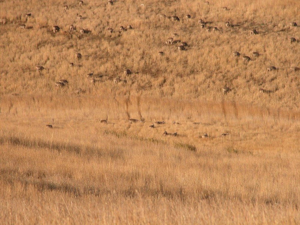 Sort of an eagle's eye view of the flock in long grass--taken from the top of the Grass Gully.  At the top of the image, a lamb stands out quite well--white against the dry grass.