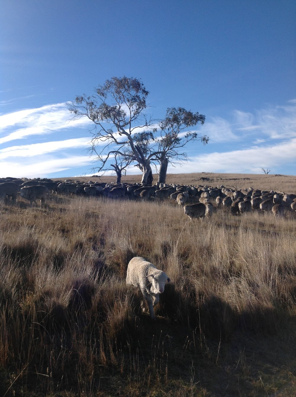 "Zac ""leading"" the flock--really just following mama suitcase--from the Grass Gully into White Gum Wood."