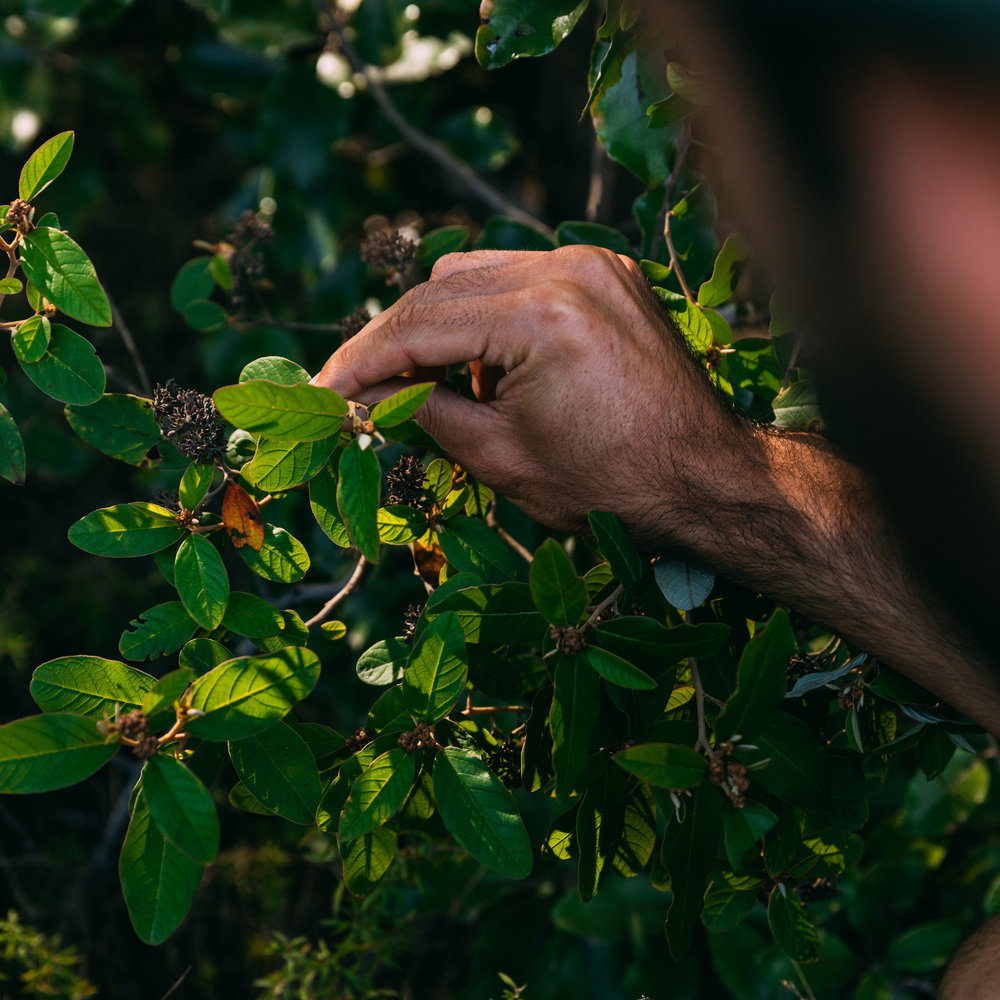 SUSTAINABILITY - Aotea's ecosystem is delicate and isolated which means great attention must be given to where and how we source native herbs and leaves.