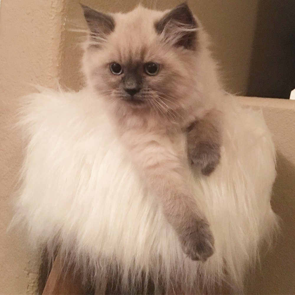 Blue Point Ragdoll