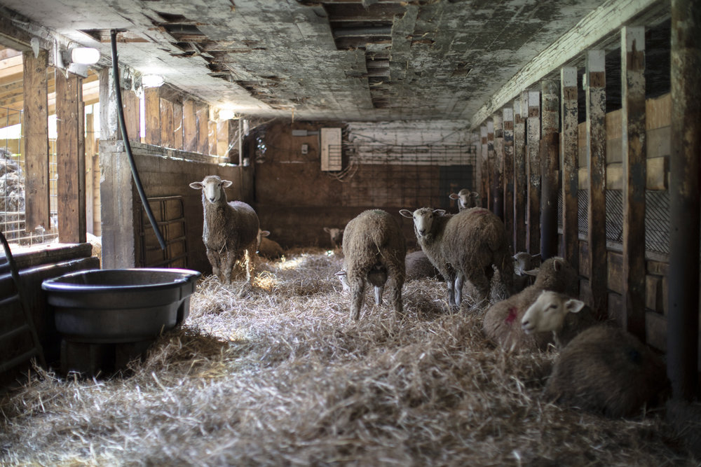 Sheep Farming - Then + Now — State14®