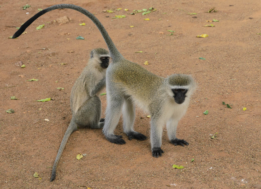 The ever present vervet monkeys were busy 'grooming'  and entertaining us while we enjoyed an ice lolly.