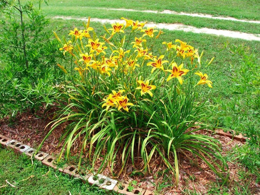 daylilies[1].jpg