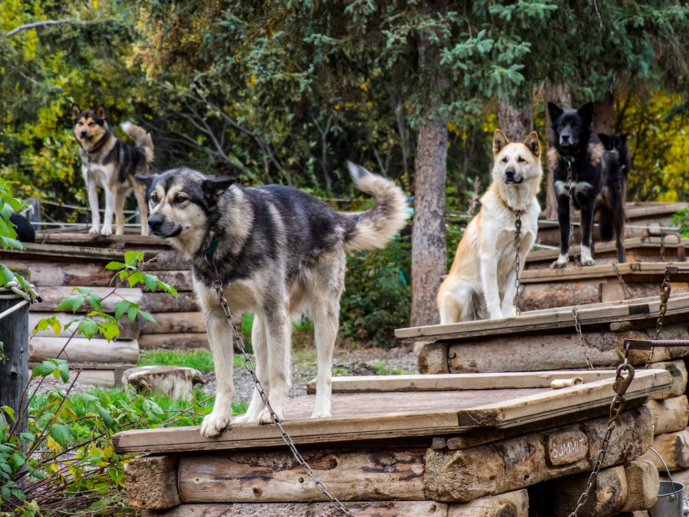 The sled dogs spend their down time at the kennel relaxing at their individual huts where they can interact with visitors.