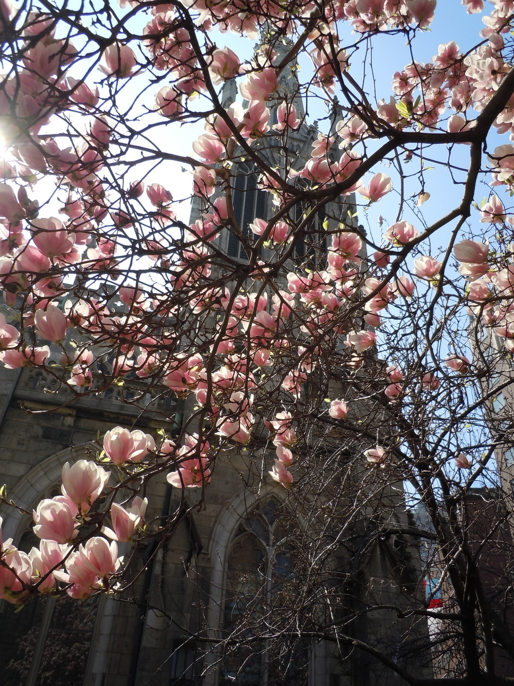 Magnolia-Veiled Cathedral , taken on Broadway in The Village, Early Spring 2013
