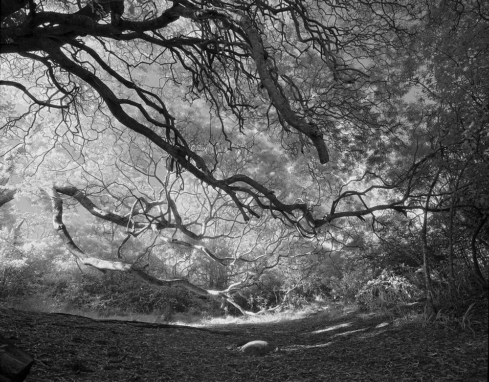 Kauai_09_2 , 2009-15, Black and white infrared (from medium format film) archival pigment print, 43.5 x 52 inches