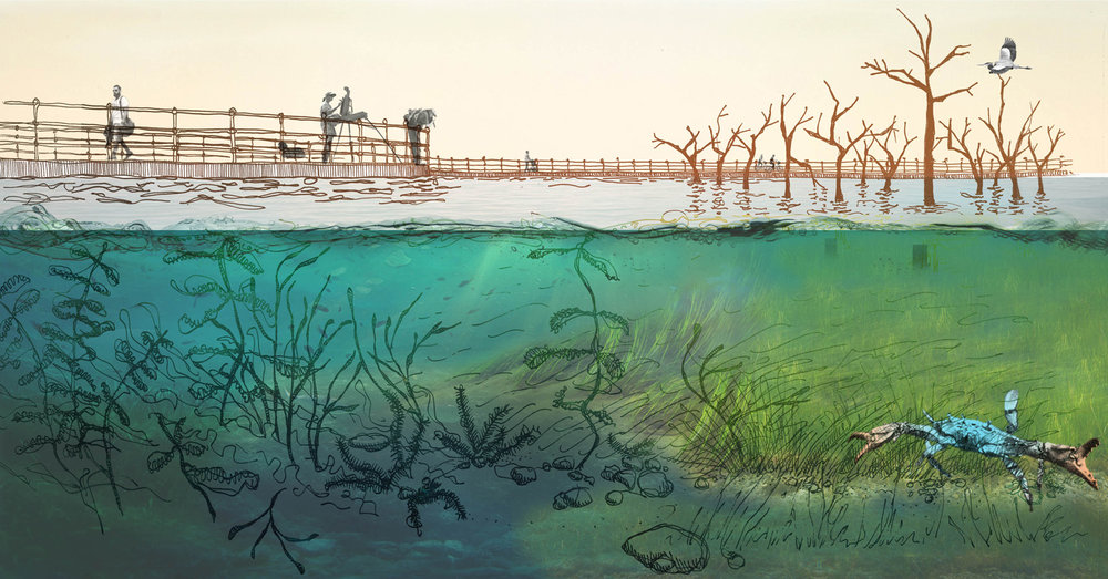 As dry land yields to rising seas, a thriving wetland emerges. Marine Eel Grass    (Zostera marina)    pioneer habitat for species such as Common Carp  (Cyprinus carpio) , Spotted Turtle  (Clemmys guttata) , and the Blue Crab  (Callinectes sapidus).